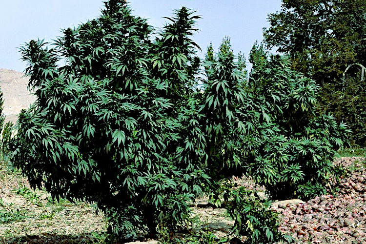 cannabis indica plant